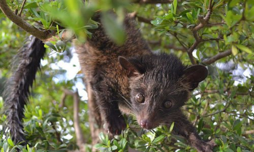 The True Story of Kopi Luwak: Why Cat Poop Coffee is Shit