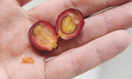 What is a Coffee Cherry? And how does it Taste?