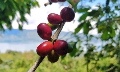 Sumatra Coffee: What's the Coffee Chronicler's Verdict?