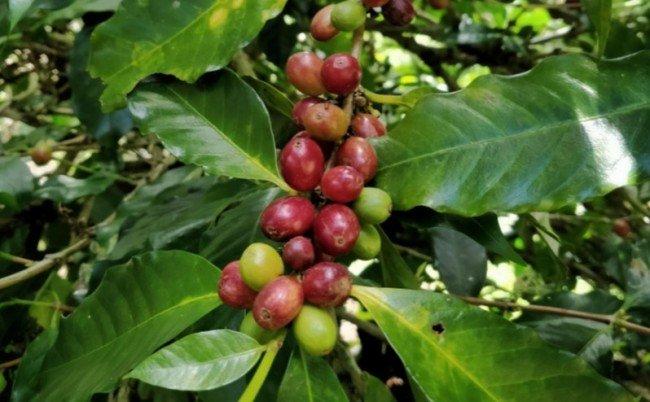 coffee cherries lake toba